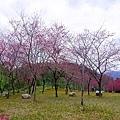 201602台7丙櫻花004.jpg