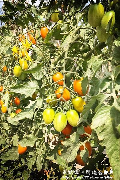 番茄3.jpg