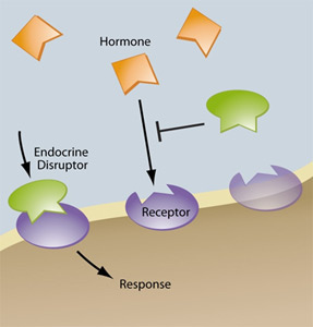 endocrine-disruptor-graphic