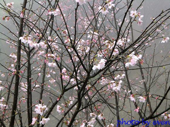 2012.03.04三芝花況2