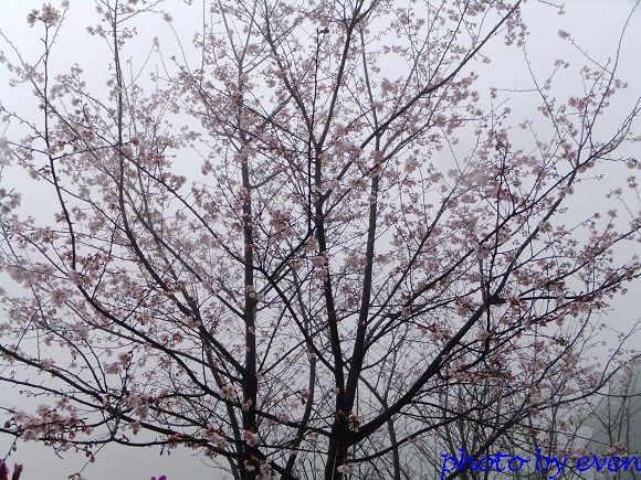 2012.03.04三芝花況5