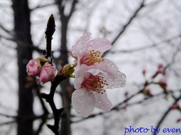 2012.03.04三芝花況6