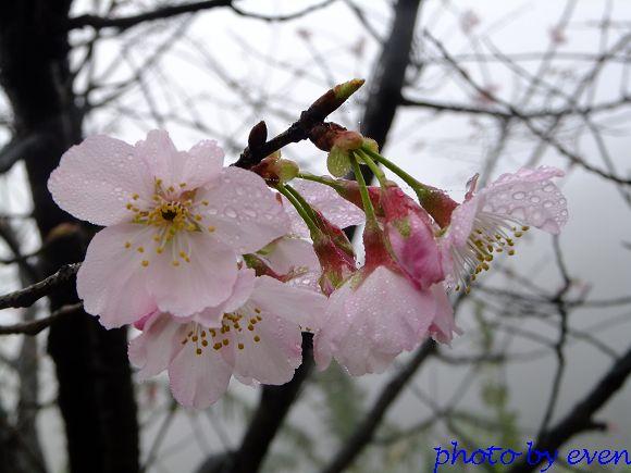 2012.03.04三芝花況7