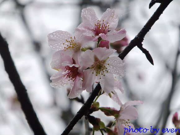 2012.03.04三芝花況10