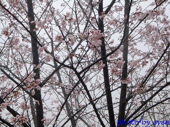 2012.03.04三芝花況11