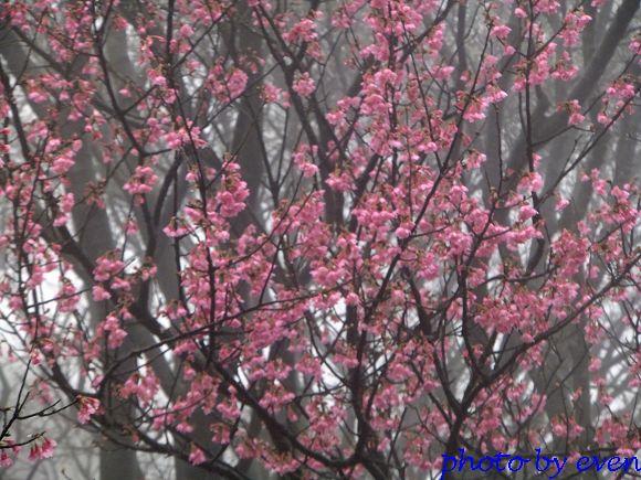 2012.03.04三芝花況16