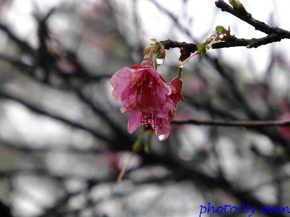 2012.03.04三芝花況14
