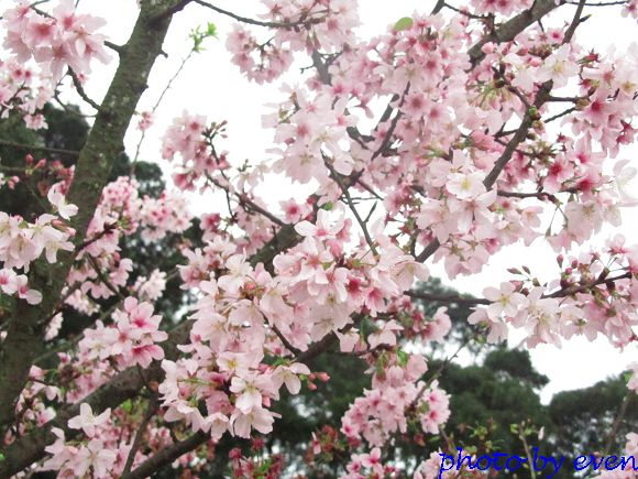 2012.03.19天元宮櫻花2