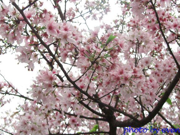 2012.03.19天元宮櫻花4