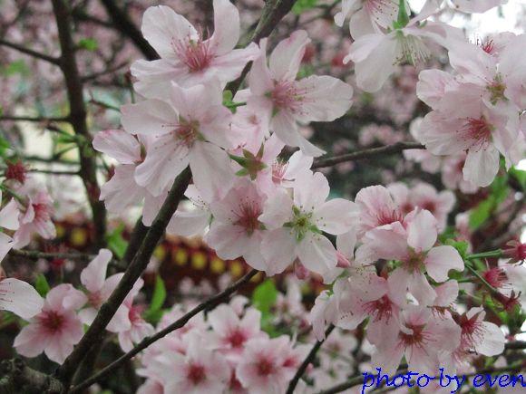 2012.03.19天元宮櫻花6