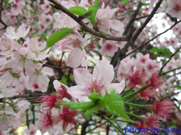 2012.03.19天元宮櫻花7