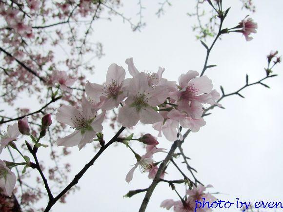 2012.03.19天元宮櫻花8