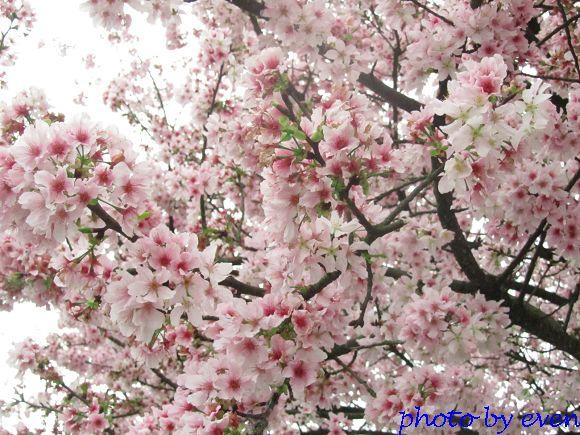 2012.03.19天元宮櫻花10