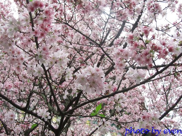 2012.03.19天元宮櫻花16