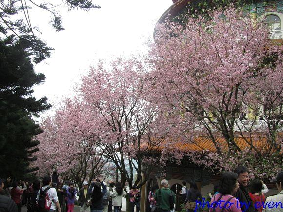 2012.03.19天元宮櫻花18