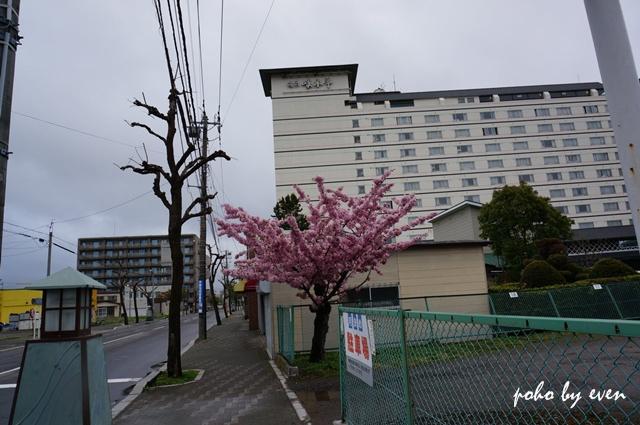 路邊櫻花2.JPG