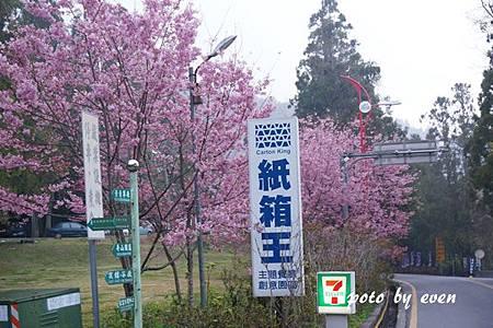 清境農場路邊櫻花3.JPG