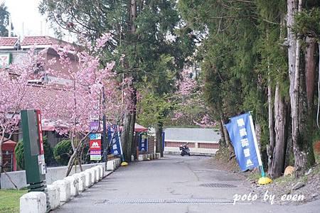 清境農場路邊櫻花10.JPG
