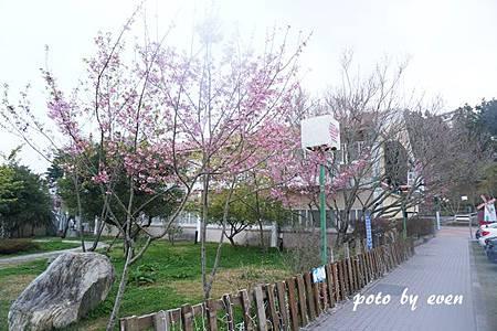 清境農場路邊櫻花12.JPG