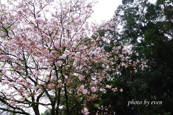 2014年天元宮賞櫻3.JPG