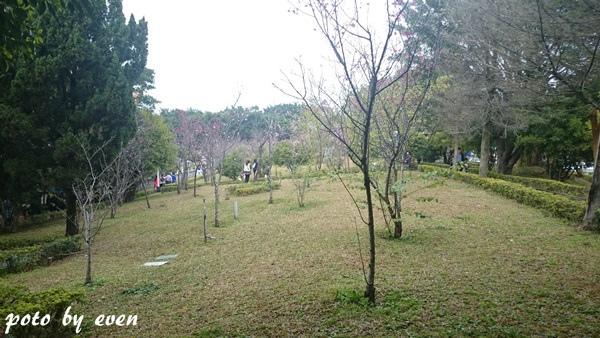 竹林山寺櫻花004-20150221