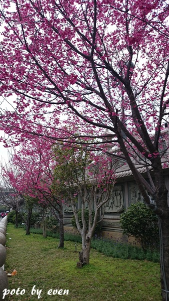 竹林山寺櫻花007-20150221