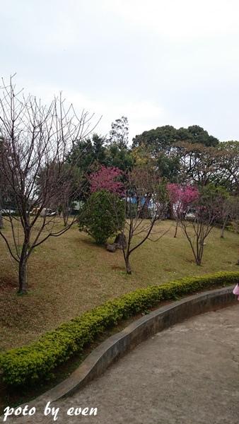 竹林山寺櫻花009-20150221