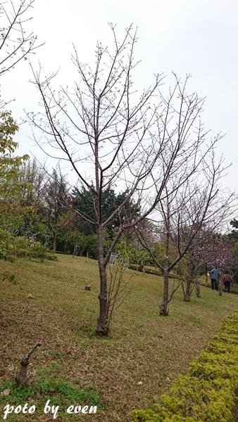 竹林山寺櫻花010-20150221