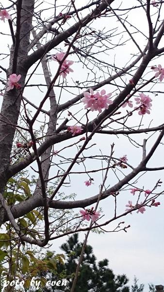 竹林山寺櫻花011-20150221