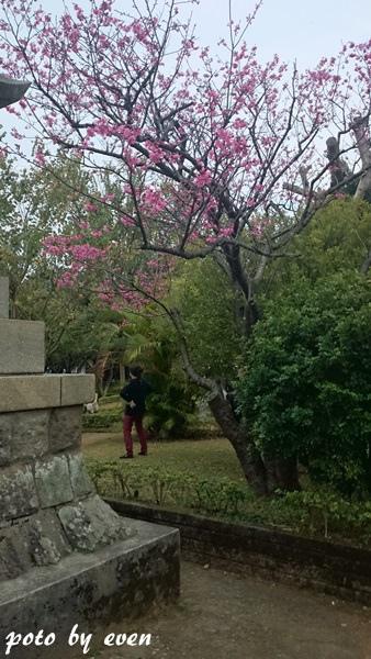 竹林山寺櫻花020-20150221