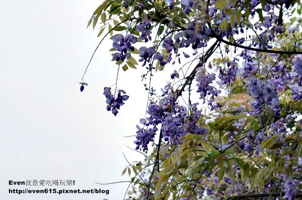 元生公園紫藤花09-20150326.JPG