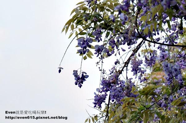 元生公園紫藤花10-20150326.JPG