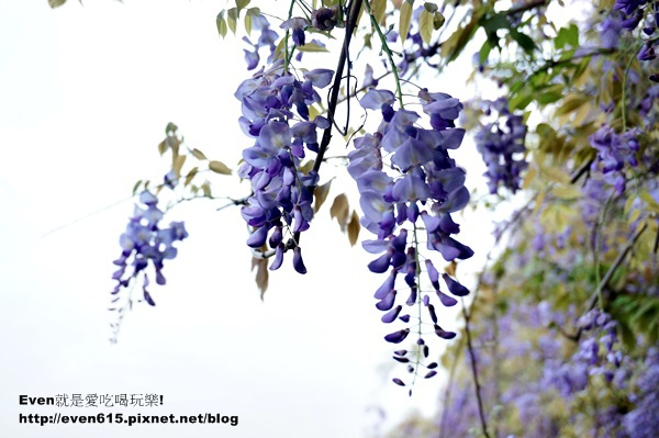 元生公園紫藤花15-20150326.JPG