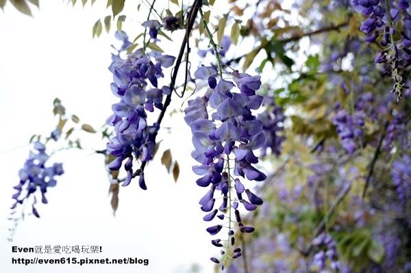 元生公園紫藤花16-20150326.JPG