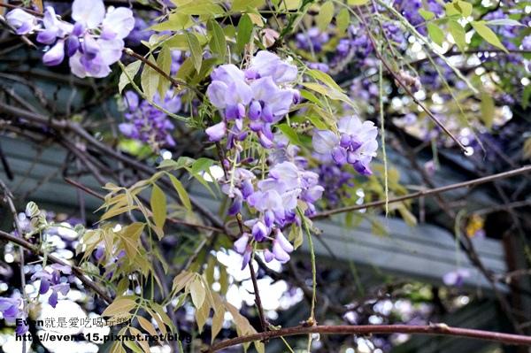 元生公園紫藤花22-20150326.JPG