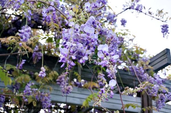 元生公園紫藤花25-20150326.JPG