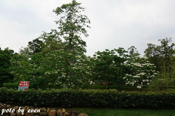 桐花公園122-20150419