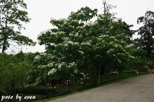 桐花公園115-20150419