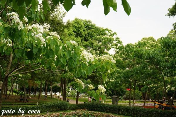 桐花公園081-20150419