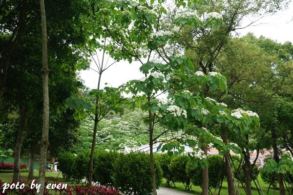桐花公園055-20150419