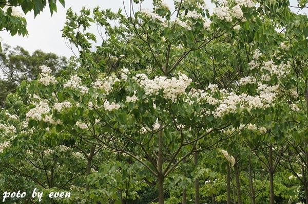 桐花公園022-20150419