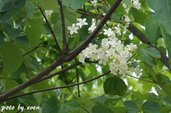 桐花公園008-20150419