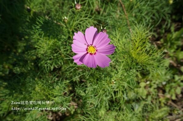 蘆竹外山花海025-20151212