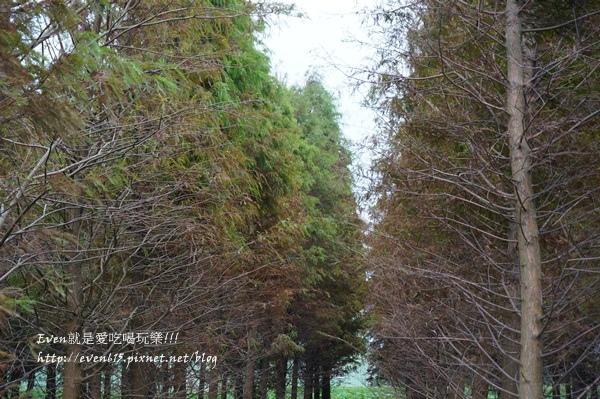 霄裡落羽松森林024-20151223.JPG
