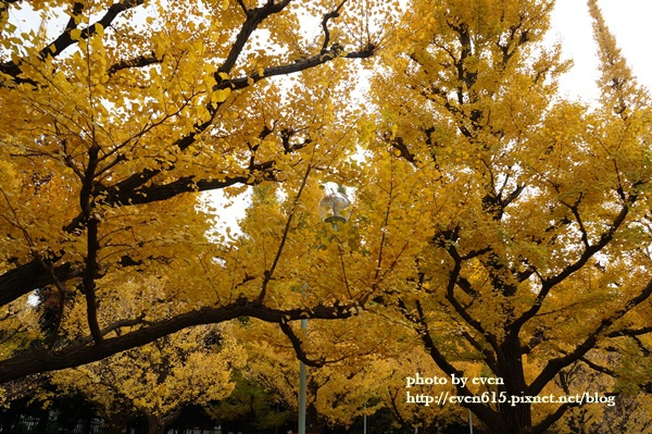 東京神宮外苑銀杏144-20161126.JPG