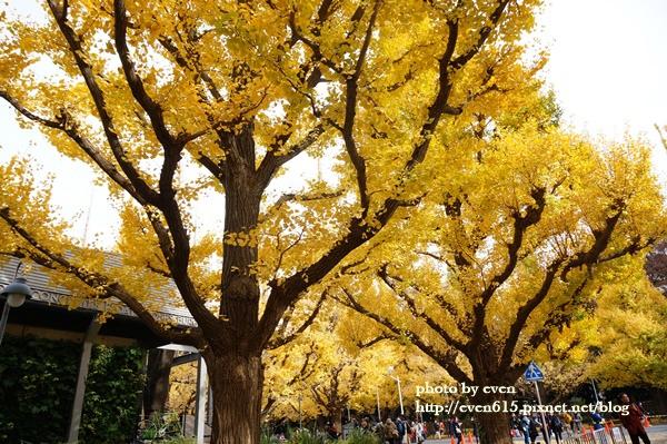 東京神宮外苑銀杏192-20161126.JPG