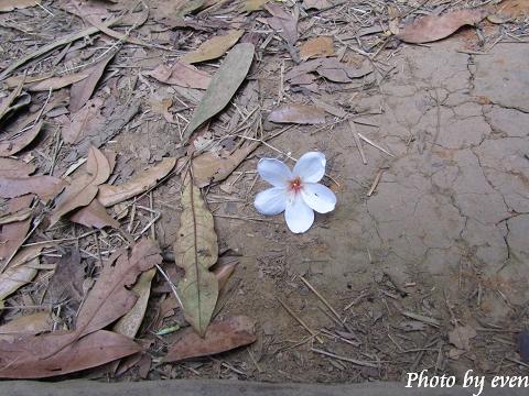 2011.04.29三義油桐花2.jpg