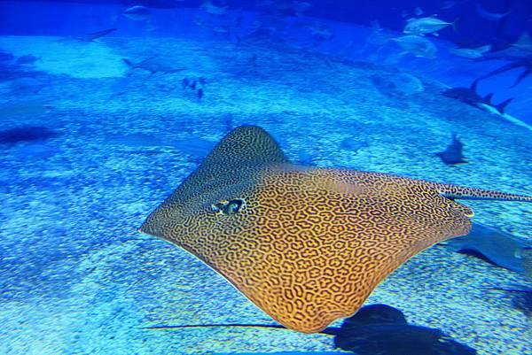 沖繩美麗海水族館—巨大魟魚.JPG