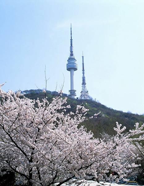 南山櫻花與迎春花5