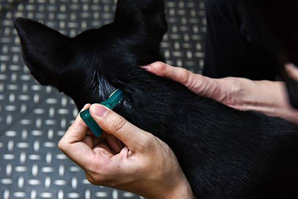 照片三圖說_取出蚤不到全效綠色滴管後,要將滴管尖端折斷,確實滴在毛孩肩胛骨周圍